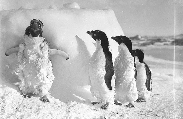 Penguins covered in snow